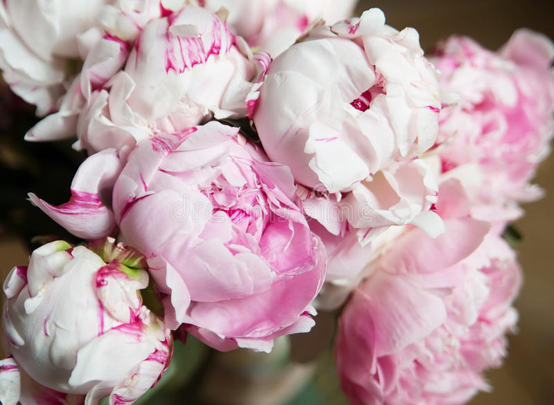 Download White And Pink Peonies Background Wallpaper Stock Image