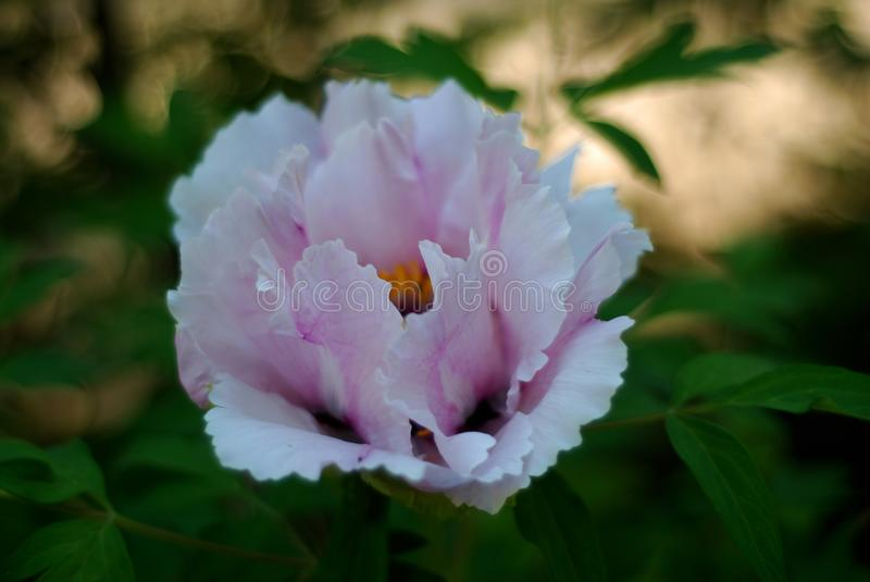 Fresh White Pink Peony Flowers Spring in Garden Park Outdoor. White Pink Peony Flowers Spring in Garden Park Outdoor royalty free stock photos