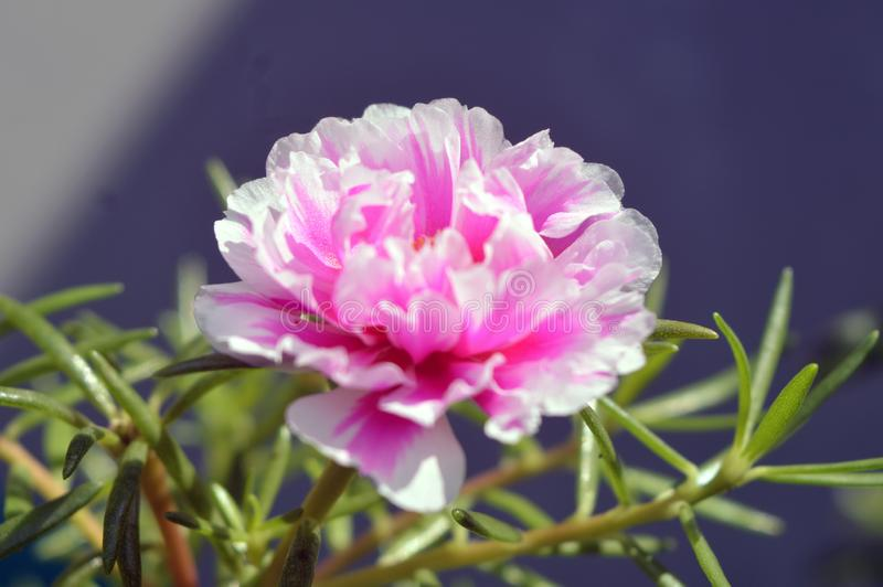 White Pink Portulaca grandiflora flower close up stock photo