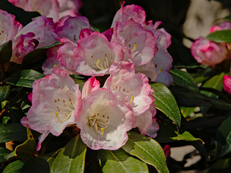 White and pink rhododendron flowers, selelctive focus stock images