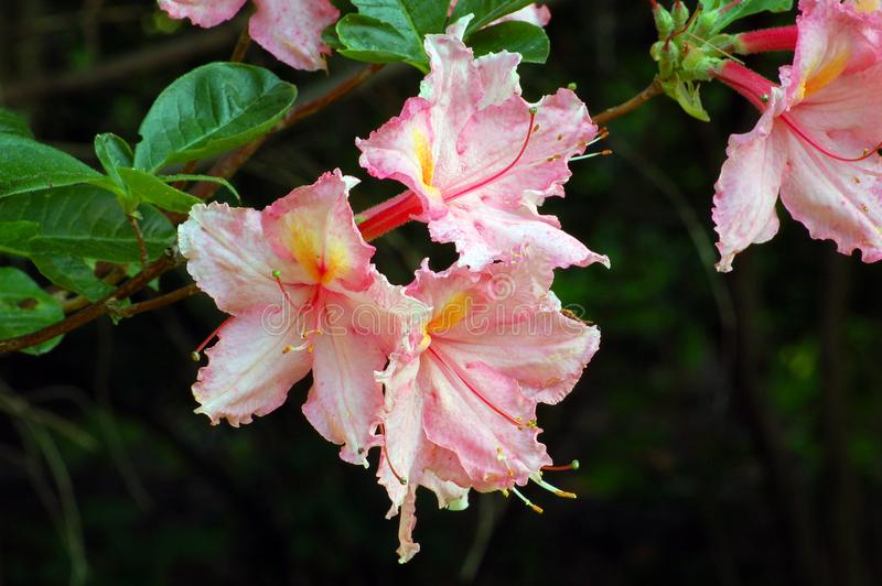 White and pink rododendron stock image