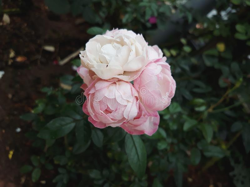 White pink rose. Whiteflower pinkflowee beautiful fresh garden stock photography