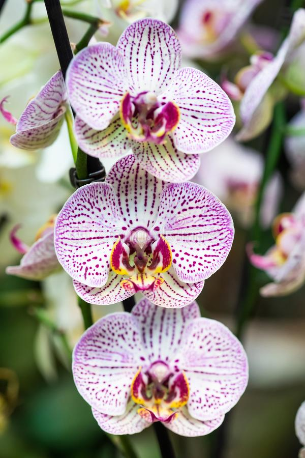 White pink spotted Orchid flowers closeup. Exotic plant Orchidaceae Phalaenopsis petals macro view, shallow depth of royalty free stock photos