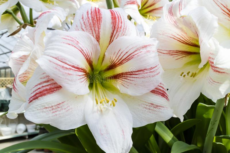 White with pink stripes Amaryllis flower close-up. stock photos