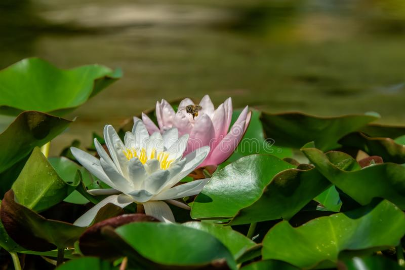White and pink water lilies close-up. Blurred green background stock image