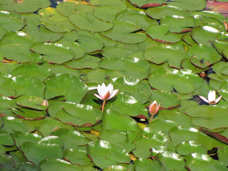 White and pink water lilies in a pond. Green stock photos