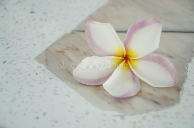 White and pink with yellow colors of plumeria flower close up. On concrete floor royalty free stock image