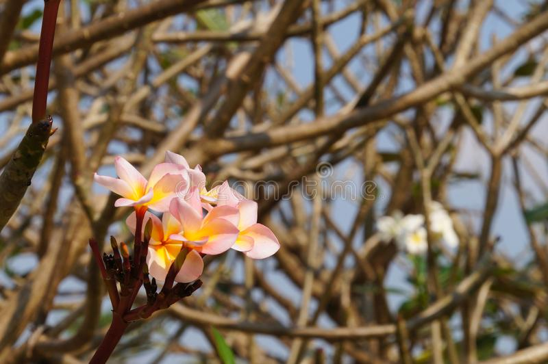 White , pink and yellow Plumeria flowers in Thailand. royalty free stock photos