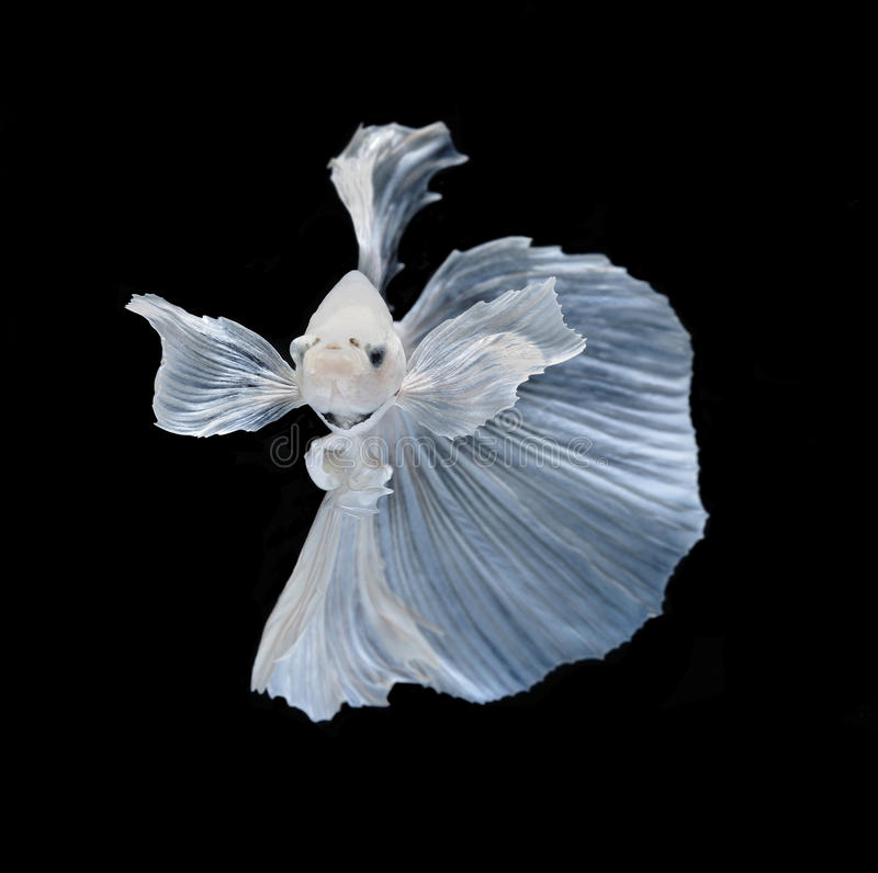 White Platt Platinum Siamese Fighting Fish .White siamese fighti. Ng fish, betta fish isolated on black background stock photography