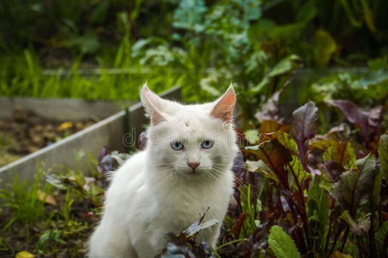 White playful cat outdoor royalty free stock images