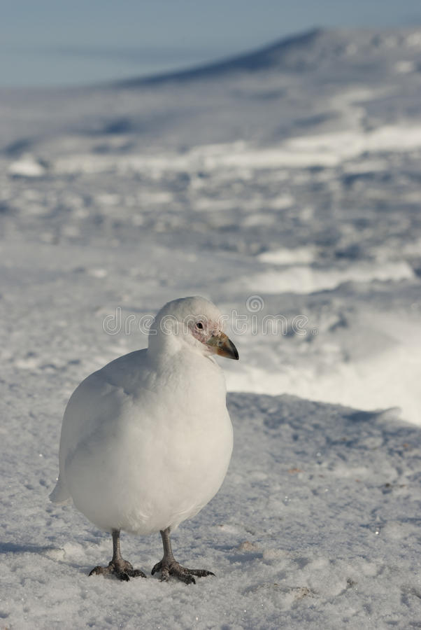 Download White Plover On The Snow In The Winter Antarctic. Stock Image - Image: 28348249