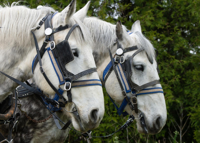 White Plow Horse royalty free stock photo