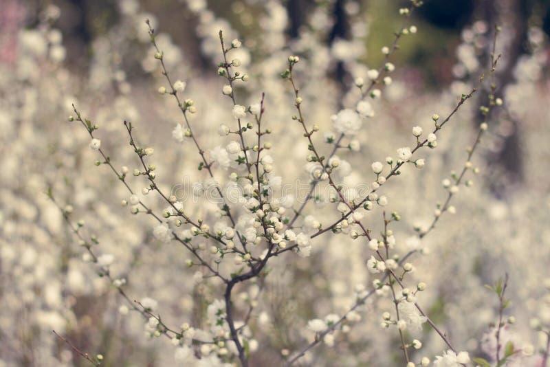 White plum blossom stock photography