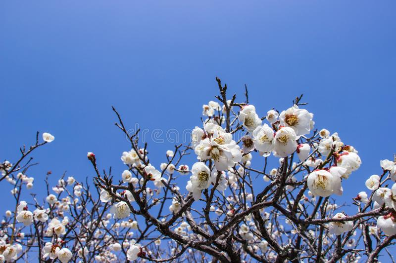 White plum blossoms and blue sky bright background at the temple tenryuji. royalty free stock photo