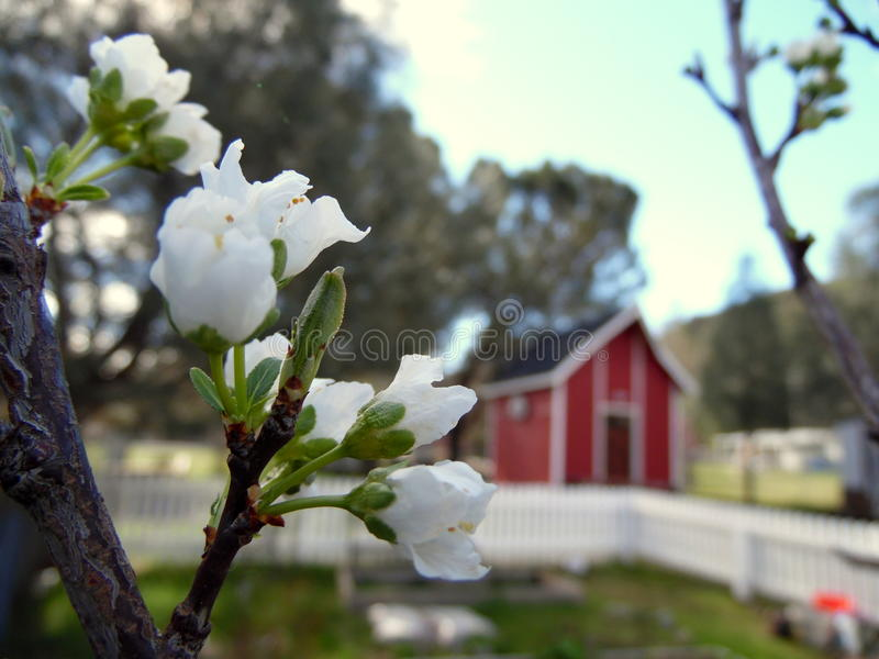 White Plum Tree Blossoms Country Setting. Photograph of the flowers of a plum tree. White blossoms and branch are in the foreground. Country setting in the royalty free stock photos