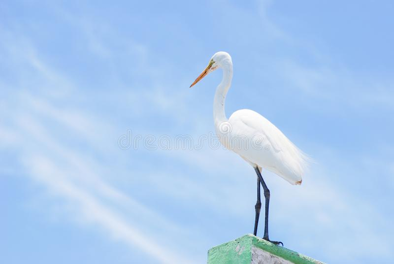 White plumage heron standing facing the ocean. Baby heron  with White plumage standing facing the gulf of Mexico watching the life going by stock image