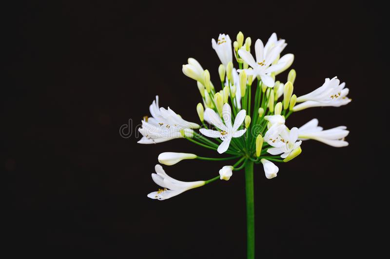 White plumbago isolated against a black background. Blossoms and flowers with empty copy space. For Editor`s text royalty free stock image
