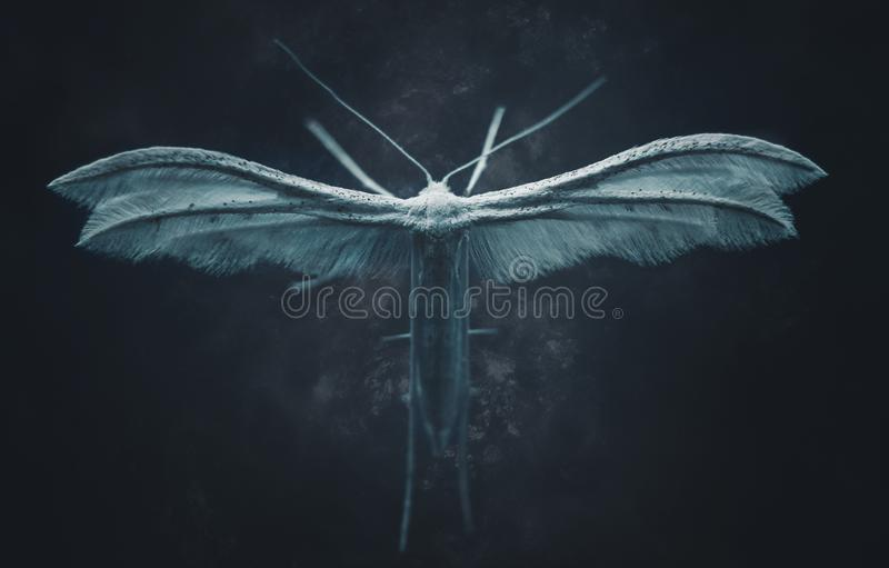 White plume moth in the dark. Blue atmospheric backround and baklight royalty free stock image