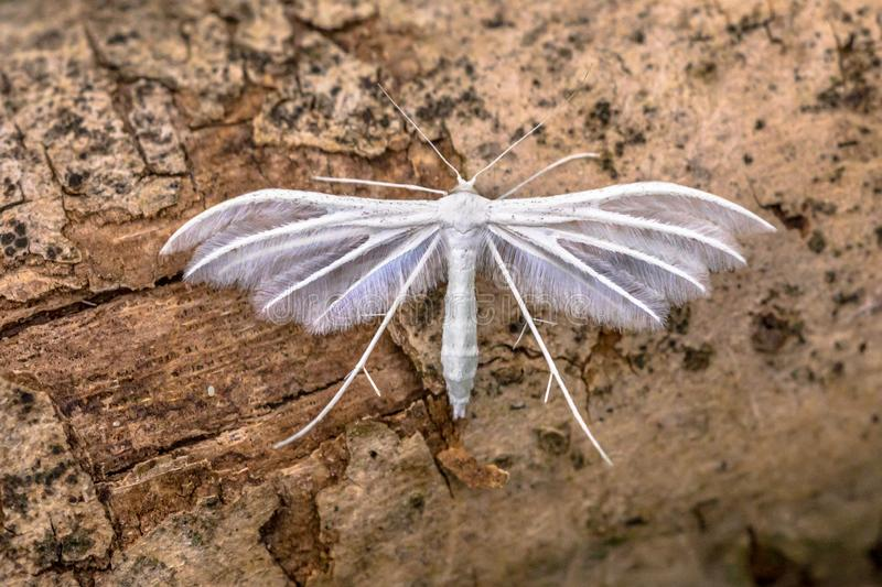 White plume moth. (Pterophorus pentadactyla) butterfly. Insect resting on wood royalty free stock photos