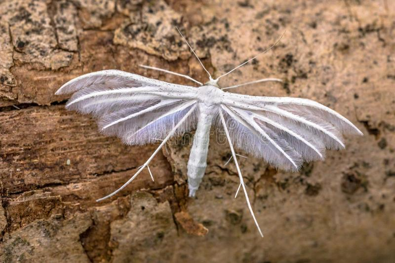 White plume moth. (Pterophorus pentadactyla) butterfly. Insect resting on wood royalty free stock image