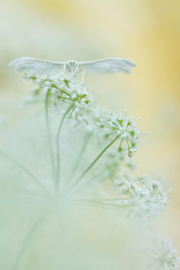 White plume moths, Pterophorus pentadactyla in soft focus. In nature stock photography