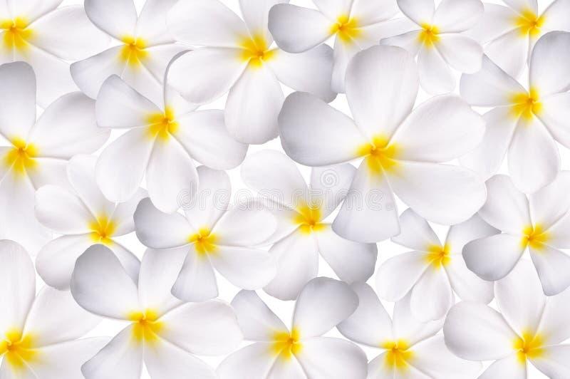 Download White plumeria stock photo. Image of exotic, nature, frangipani - 19140720