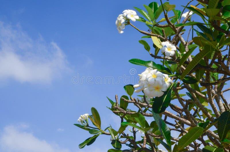 White plumeria against a blue sky royalty free stock photo
