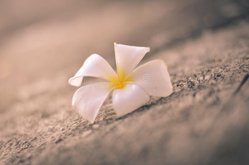 White plumeria on the floor. Beautiful white plumeria on the floor stock photography