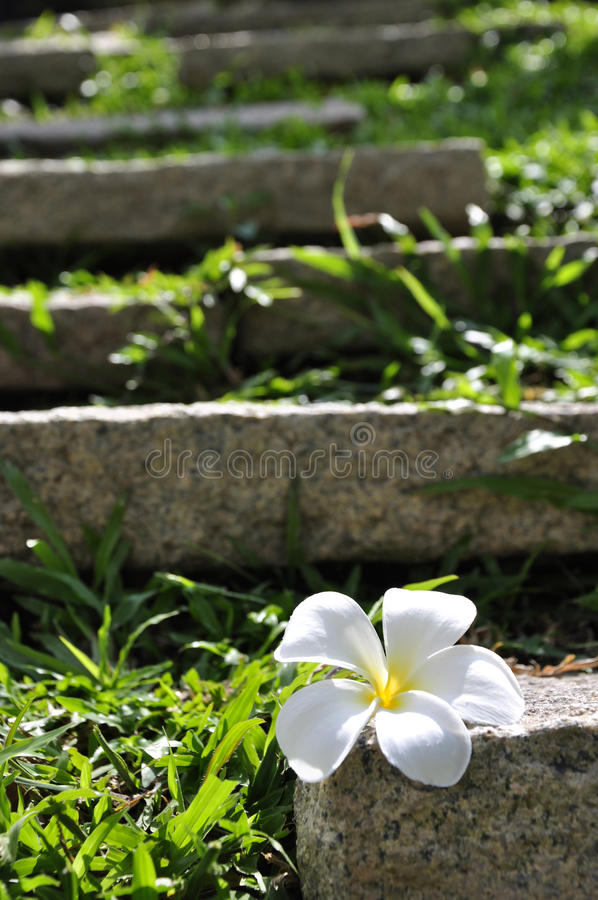 White Plumeria flower on the rock and green grass stock images
