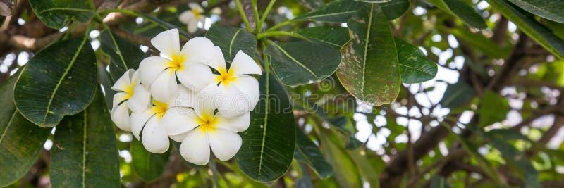 White Plumeria flower. Or Cambodja flower in Indonesia stock image