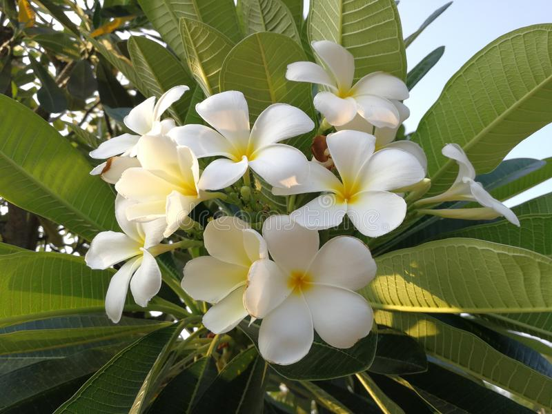White plumeria flowers bunch in the outdoor garden stock photography