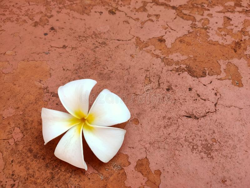 White plumeria flowers fall on the cement floor in the garden. stock photos
