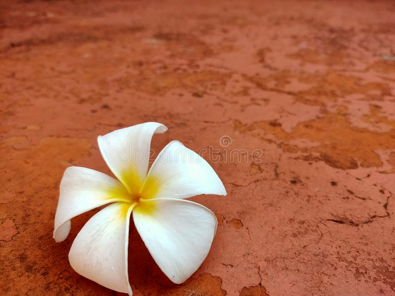 White plumeria flowers fall on the cement floor in the garden. royalty free stock photos