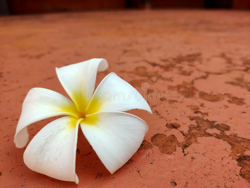 White plumeria flowers fall on the cement floor in the garden. royalty free stock images
