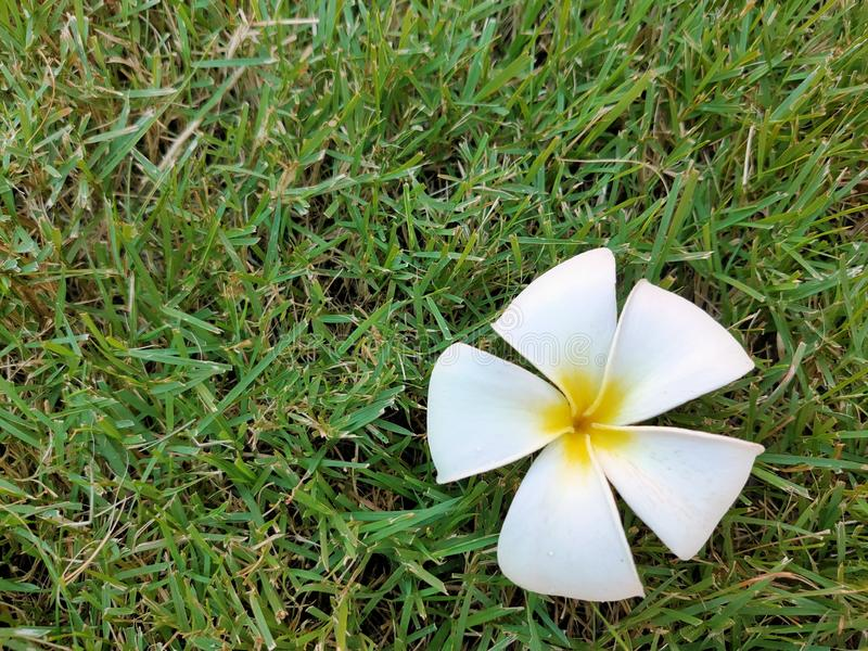White plumeria flowers fall on the lawn in the garden. royalty free stock photo