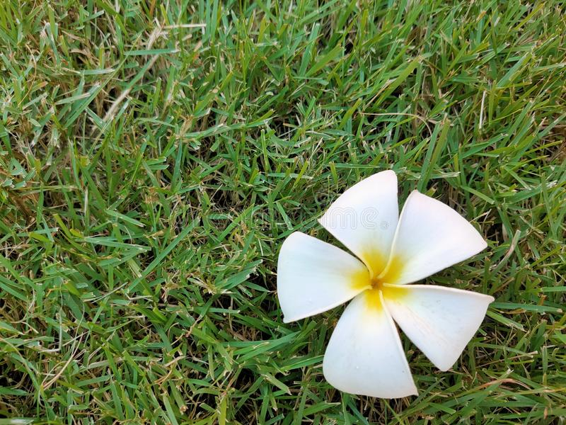 White plumeria flowers fall on the lawn in the garden. royalty free stock images