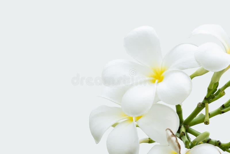 White plumeria flowers on isolated white background royalty free stock image