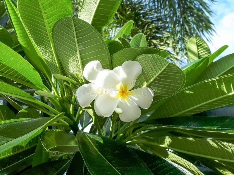 White plumeria flowers stock photos