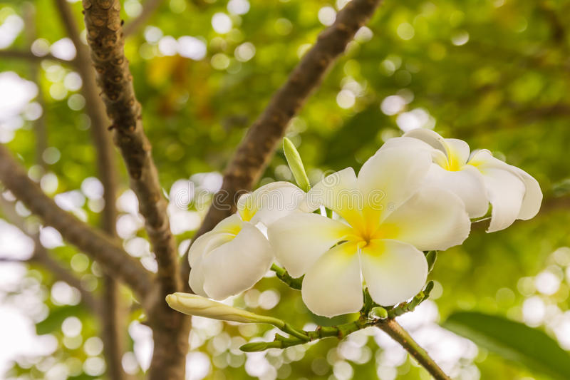 White Plumeria or frangipani flowers. In garden stock images