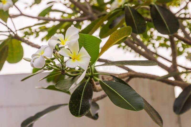 White Plumeria or frangipani flowers. In garden stock image