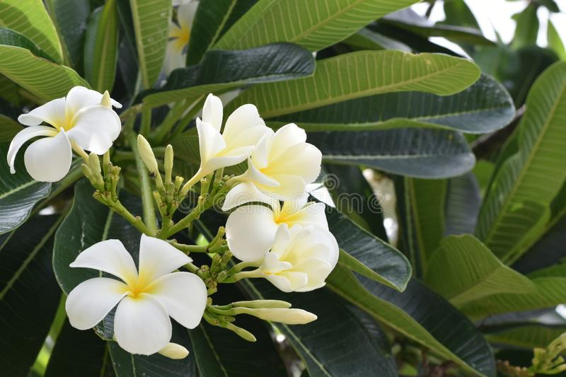 White Plumeria. Plumeria, white flora with yellow pollen. This picture contains both blooming and burgeon royalty free stock photography