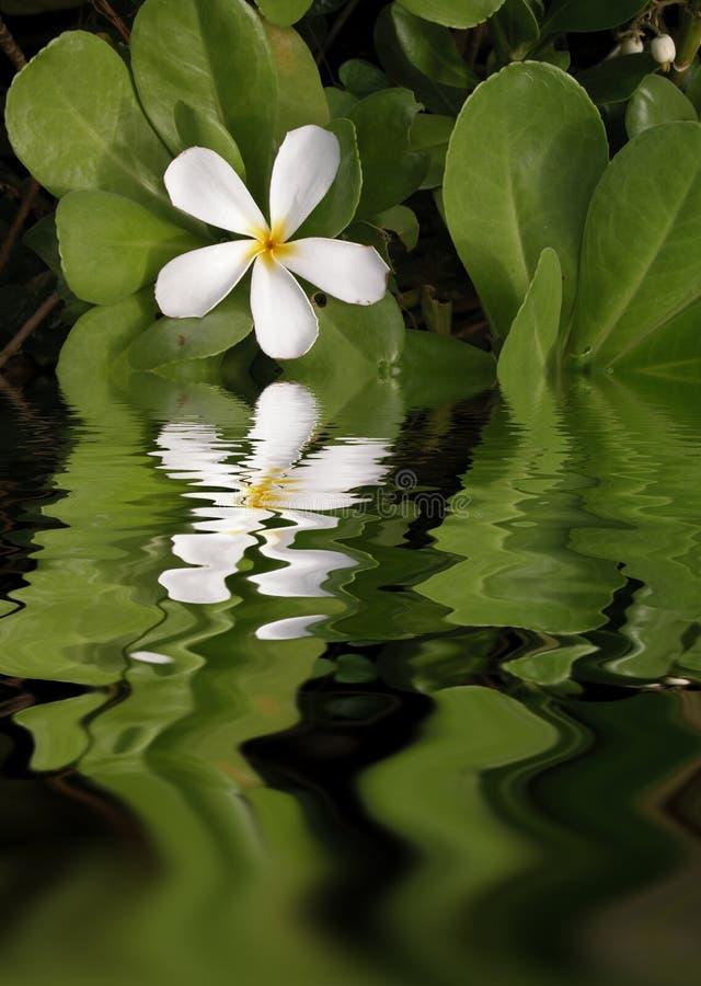 White Plumeria Reflections royalty free stock image