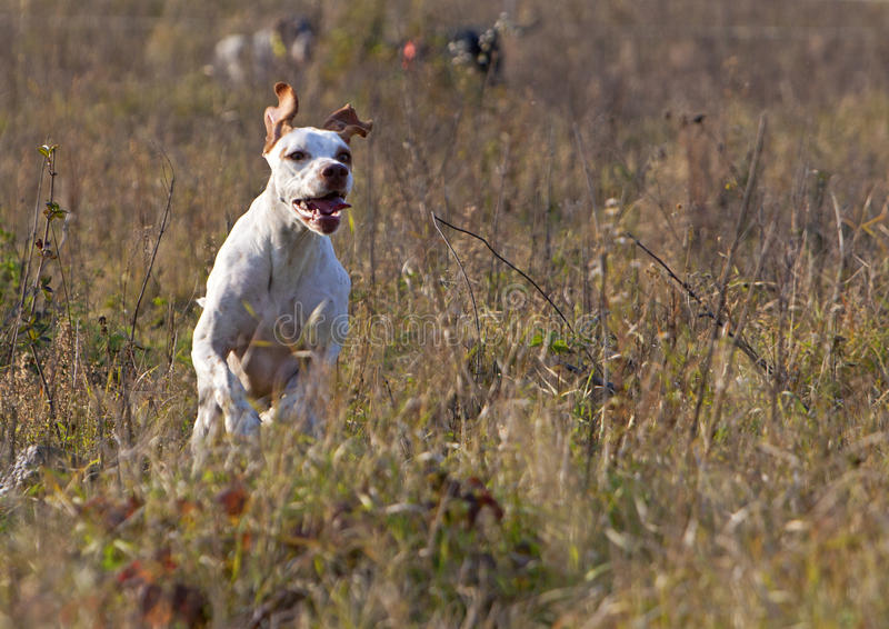 White pointer on jump. In hunting stock photos