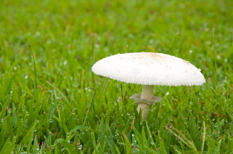 Download White poisonous mushroom stock photo. Image of nature - 25106650