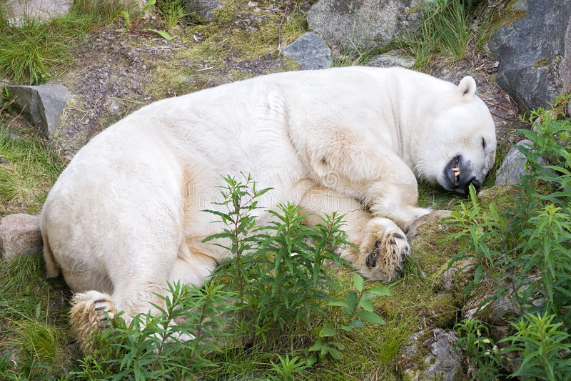White polar bear. Big polar bear sleeping on green grass royalty free stock image