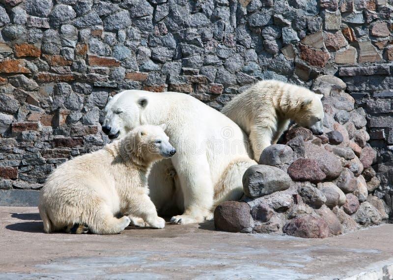 White Polar She-bear With Bear Cubs Stock Photo