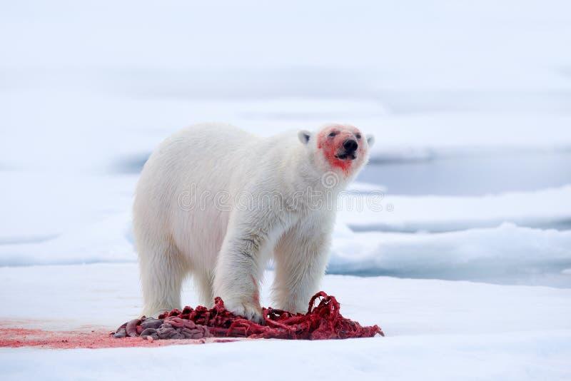 White polar bear on drift ice with snow feeding kill seal, skeleton and blood, Svalbard, Norway. Bloody nature, big animal. Polar stock images