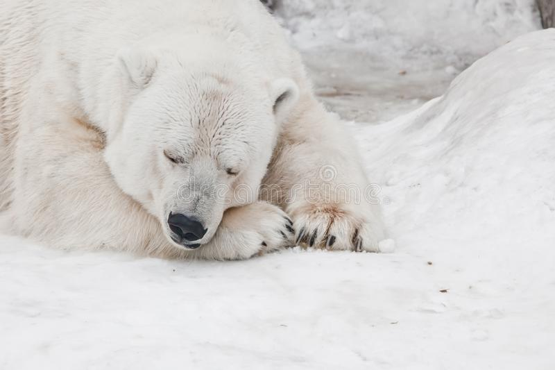 A white polar bear in a fluffy crystal-white skin lying on the snow and sleeping resting, a large predator hiding, merging royalty free stock photos