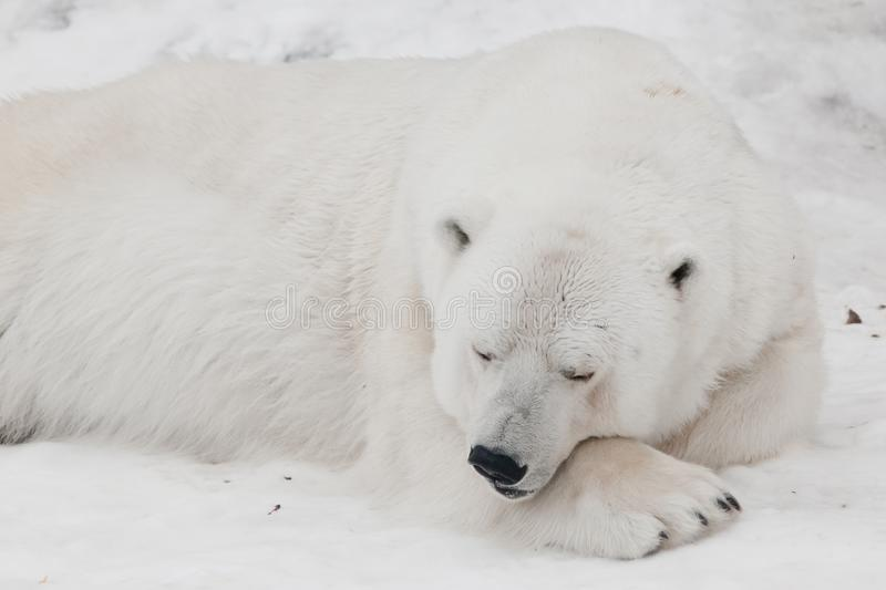 A white polar bear in a fluffy crystal-white skin lying on the snow and sleeping resting, a large predator hiding, merging stock photography