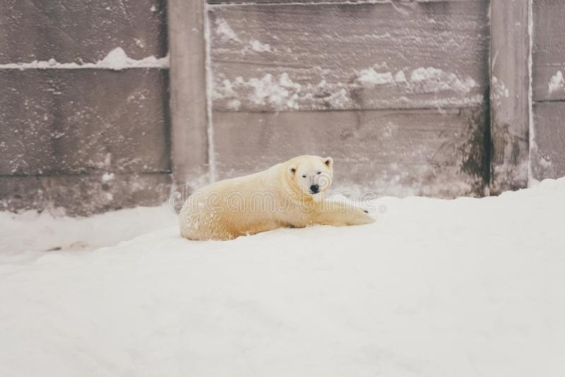 White polar bear in snow forest stock photo
